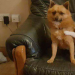 Male Pom x terrior lost in ardagh co.limerick