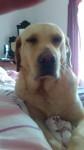 female golden labrador. strayed away