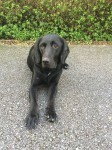 Male Black Labrador Cross with red collar