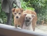 Lost Female Terrier x Pomm in Ballybricken/Mt Sion area