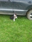 Female border collie missing in Tralee
