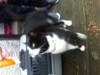 Found lost black and white cat Blarney Tower Cork