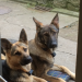 List German shepherds, male & female in Buttevant