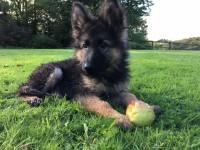 Male german shepherd puppy lost in Shippool, Innishannon