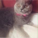 Female British Shorthair Missing in Clonmel