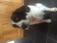 Missing since Friday night 7 October.  Male Springer Spaniel. Brown and White