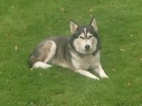 Grey Female Husky lost in Ballinhassig / Fivemilebridge