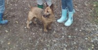 Lost small Female brown terrier Coppeen Area