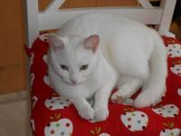 Missing: Female white cat – Raheen (Limerick)