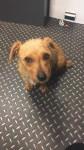 Lost Brown Terrier