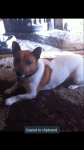 White and Brown Jack Russell lost in the Hollyhill Area of Cork City