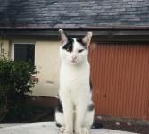 Black and white female cat lost at Caragh Lake / Killorglin