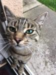 Grey tabby cat lost in Dungarvan Co. Waterford