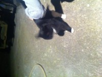 Female young cat, black with white belly, paws and around the mouth..