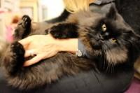 Black fluffy Siberian cat lost in Rathfarnham
