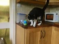 Douglas Beautiful Black & White Large Male Nutered Cat Much Loved