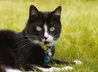 Black with white cat lost in Rooskagh