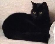 Black Neutered Female cat lost in Rochestown Cork