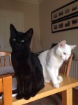Henry- male black cat