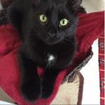 Black cat lost in Shandon