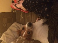 Female jack Russell lost in ballincollig