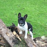 Male black and white French bulldog lost in Donoughmore