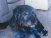 Female cross-breed terrier lost in Rochestown