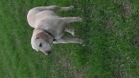 Missing Female Golden Labrador