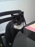 Lost black cat,  white paws long whiskers