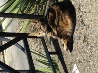 Brown Tabby *STILL MISSING*  – GENEROUS REWARD