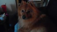 Male Pomeranian lost in south cork centre