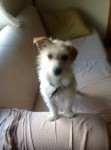 Small white terrier with light brown spots lost in Mahon