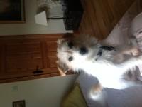 Lost white female terrier