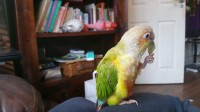 Green cheek conure (small parrot like bird)
