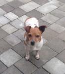 Female Jack Russell dog found in Bishopstown