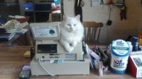 White Female Cat in Bandon