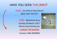 African Grey Lost Waterford