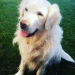 Male golden retriever lost in Ballincollig