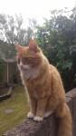Male Ginger Cat lost in Frankfield, Cork