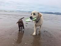 lost white Labrador