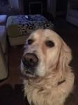 BEN Male, Golden Retriver lost in Boreenmanna Road, Cork