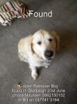 Golden Retriever Male Found