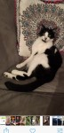 3yr old male neutered black and white cat