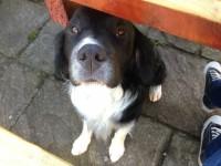 Missing Sprollie (cross Spaniel/Sheepdog) called OSKAR