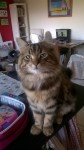 Beloved tabby cat lost in Grange Douglas area