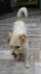 White wirey terrier male found in City West area