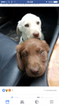 White male  labrador pup lost in Curraheen