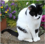Lost Male Black and White Cat from Amberley area, Grange
