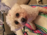 Female bichon frise lost in carrigaline