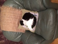 Lost black and white cat named Holly with pink collar